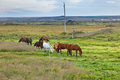 Horses in a green field of grass at iceland rural landscape horizontal shot Royalty Free Stock Photo
