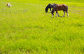 Horses in green yellow spring meadow Stock Image