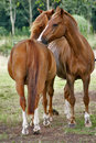 Horses grooming each other Royalty Free Stock Images
