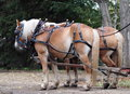 Horses Hitched To Wagon Royalty Free Stock Photo