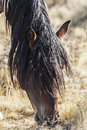 Horses living badland desert western states collect weed seeds burrs their dirty mane horse hair trying to feed Stock Photos