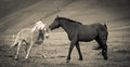 Horses in love - B/W Royalty Free Stock Photo