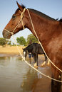 Horses in Mali Stock Image