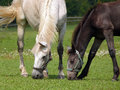 Horses mare and foal royal old kladruber grazing on the pasture Royalty Free Stock Image