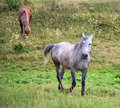 Horses in a meadow. Royalty Free Stock Image