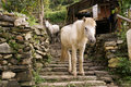 Horses in nepal mountain village beautiful next to basic house Royalty Free Stock Photography