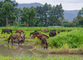 Horses in the pasture a agriculture animal attentive beasts beautiful beauty breed care chestnut Stock Images