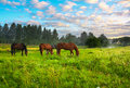 Horses on a pasture Royalty Free Stock Photo