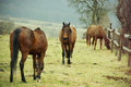 Horses on pastures few grazing Royalty Free Stock Photography