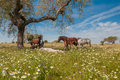 Horses in the pastures full of oak trees sunny spring day in extremadura spain and flowers Royalty Free Stock Images