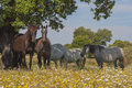 Horses in the pastures full of oak trees sunny spring day in extremadura spain and flowers Stock Photos