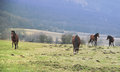 Horses on pastures herd of grazing Royalty Free Stock Photo