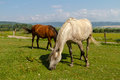 Horses pasturing in green meadow Royalty Free Stock Photos