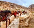 Horses of petra group near the entrance to al siq the canyon leading to jordan Royalty Free Stock Photo