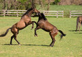 Horses at play Stock Images