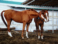 Horses play Royalty Free Stock Photo