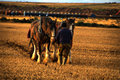 Horses and plough lineing up to plough field lining at the scottish ploughing championship near wick caithnesss scotland u k for Royalty Free Stock Image