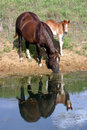 Horses at Pond Royalty Free Stock Photo