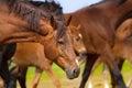 Horses portrait in herd Royalty Free Stock Photo