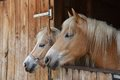 Horses portrait of two in a stable Stock Photography