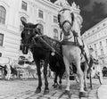 Horses on the road in Vienna, Austria capital city Royalty Free Stock Photo
