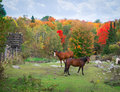 Horses in rocky field autumn two a pasture with fall colors Royalty Free Stock Photography