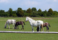 Horses royal old kladruber on the pasture two mares and their foals Stock Photography