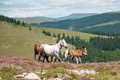 Horses running in mountain wilderness Royalty Free Stock Image