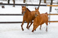 Horses running in the paddock in winter happy red cold Stock Images
