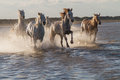 Horses running in the water Royalty Free Stock Photo