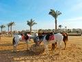 Horses on the sand beach Royalty Free Stock Photo