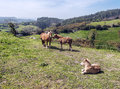 Horses several in the meadows of cantabria it s surrounded by meadows and trees Royalty Free Stock Photo