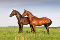 Horses standing couple of beautiful horse exteriror in meadow Royalty Free Stock Photos