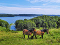 Horses in suwalszczyzna poland two region of hills and lakes Royalty Free Stock Image