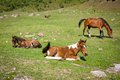 Horses on th pasture and colts lying the grass Royalty Free Stock Image