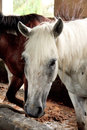 Horses in their stable black white and brown Royalty Free Stock Image