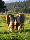 Horses two graze rear view Royalty Free Stock Photo