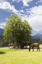 Horses under a tree and blue sky with clouds Royalty Free Stock Photo