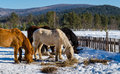 Horses in the village in the ural mountains russia Stock Images
