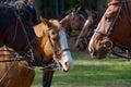 Horses wearing riding tack Royalty Free Stock Photo