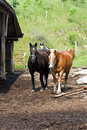Horses on West Virginia Farm Royalty Free Stock Photography