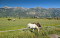 Horses in wyoming group of and mountains the background near jackson hole Royalty Free Stock Photography