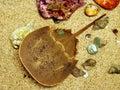Horseshoe Crab Royalty Free Stock Photo