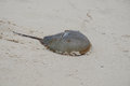 Horseshoe crab attempting to make it's way down the beach sand Royalty Free Stock Photo