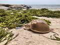 Horseshoe crab on the beach Royalty Free Stock Photo