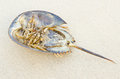 Horseshoe crab dead. Royalty Free Stock Photography