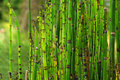 Horsetail plant Royalty Free Stock Photos