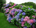 Hortensia Royalty Free Stock Images
