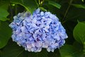 Hortensia Royalty Free Stock Image