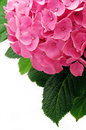 Hortensia Stock Photography